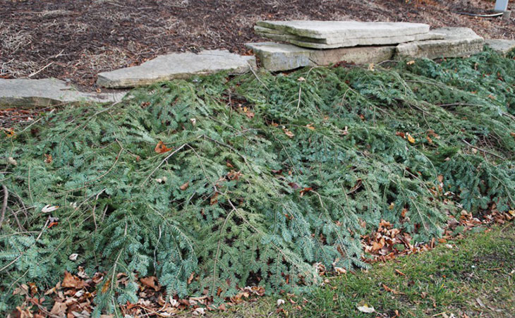 Christmas-Tree-Branches-Mulch_LG