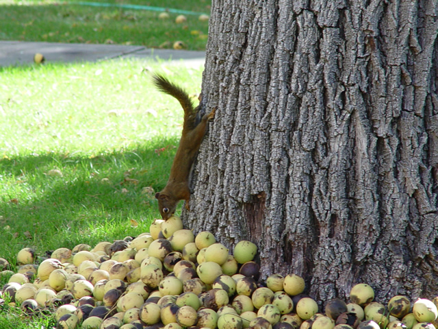 Growing walnut trees for profit - Growing french walnuts for a profit ...