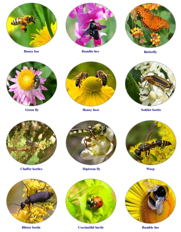 insects-as-pollinators-1-638